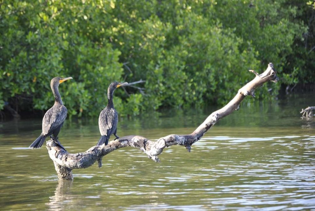 Rio Lagartos cormorani