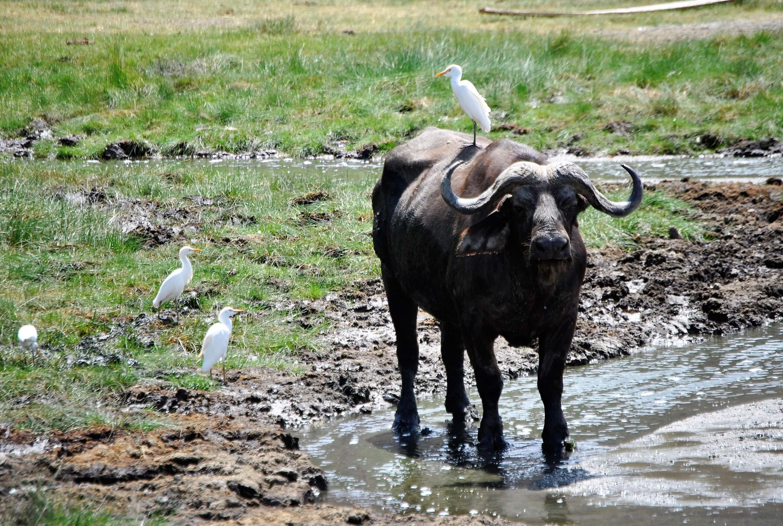 safari, parco lake manyara, bufalo