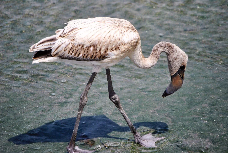 safari, parco lake manyara, fenicottero