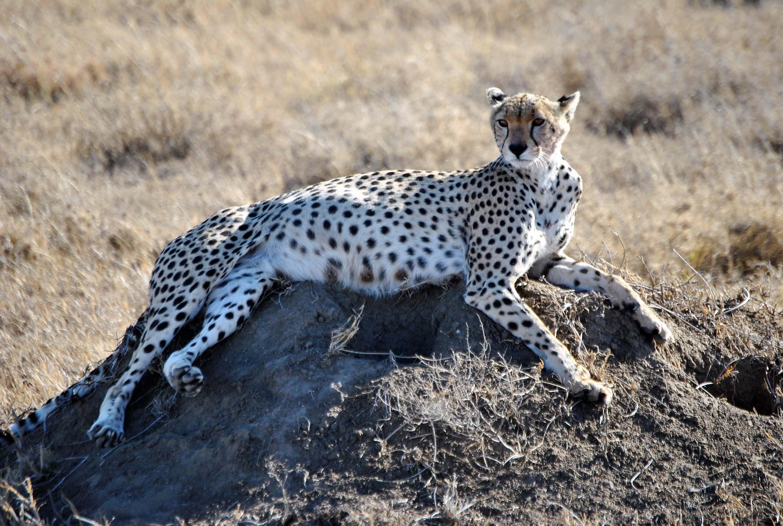 safari parco nazionale del serengeti, ghepardo
