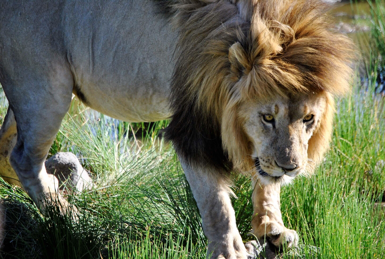 safari parco nazionale del serengeti, leone