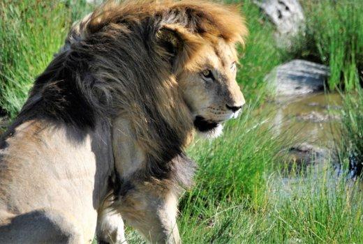 safari serengeti leone